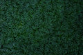 Dark green leaves of ground cover plant, mini mondo grass or snakes beard (Ophiopogon japonicus), abstract texture background.