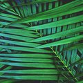 Dark green palm leaf texture background, tropical jungle tone concept, 1:1 Royalty Free Stock Photo