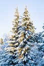 Dark green pines covered with snow and hoar frost glow in the sunlight.