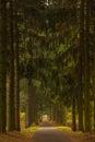 Dark green spruce alley overcast autumn day