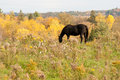Dark horse out in pasture. Royalty Free Stock Photo