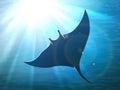 Dark manta ray in ocean