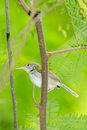 Dark necked tailorbird orthotomus atrogularis in forest of thailand Royalty Free Stock Images