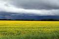 Dark ominous clouds over field of manitoba canola in blossom a local farmer s bright yellow seen growing south central canada on a Stock Image