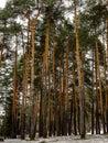 Dark pine tree forest Royalty Free Stock Photo