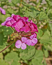 Dark pink geranium bunch closeup in the garden Stock Photo