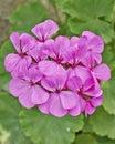 Dark pink geranium bunch closeup in the garden Stock Photos