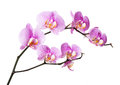 Dark pink orchid spotted flowers isolated on white background Royalty Free Stock Photography