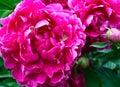 Dark pink peony blossoms Royalty Free Stock Photo