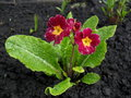 Dark pink primrose in spring time colourful on the ground Stock Image