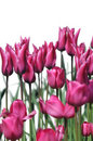 Dark pink tulip flowers Royalty Free Stock Image