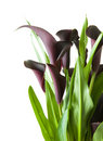 Dark purple (black) calla lily plant Royalty Free Stock Images