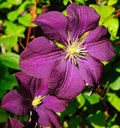 Dark Purple Clematis Etoile Violette 2 Stock Photos