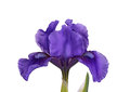 Dark purple flower of a dwarf bearded iris isolated Royalty Free Stock Photo