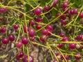 Dark purple Mangroove Berry Royalty Free Stock Photo