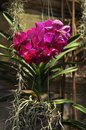 Dark purple orchid vanda on concreate wall Royalty Free Stock Photo