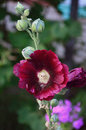 Dark red mallow Royalty Free Stock Photo
