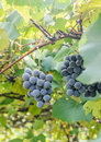 Dark red purple grapes fruit hang vitis vinifera grape vine green leaves in the sun close up Stock Images