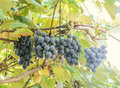 Dark red purple grapes fruit hang vitis vinifera grape vine green leaves in the sun close up Royalty Free Stock Photography
