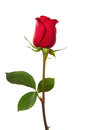Dark red rose Royalty Free Stock Photo