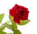 Dark red rose with drops Stock Photo
