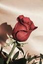 Dark Red Rose, Symbol Of Beauty