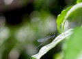 Dark small dragonfly tiny colorful pin size on a green leaf under sunlight with nice green nature bokeh background Royalty Free Stock Photos
