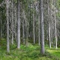 Dark spruce forest in a sunny summer day