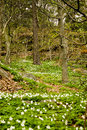 The dark tree beautiful spring time in sweden a forest shot with aspeen birch trees and white wood anemone Royalty Free Stock Image