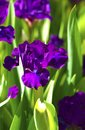 Dark Violet Iris Flowers Royalty Free Stock Photo