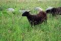 The dark woolly sheep Royalty Free Stock Photo