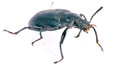 Darkling beetle. Royalty Free Stock Images