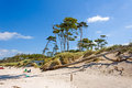 Darss weststrand beach with the typical windswept trees Royalty Free Stock Photo