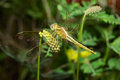 Darter Dragonfly Macro Royalty Free Stock Photos