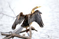Darter or snakebirds are large tropical waterbirds this was standing on a branch on a river bed Stock Image