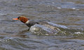Darting Female Common Merganser Royalty Free Stock Photography