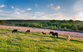 Dartmoor ponies grazing in a bluebell meadow at emsworthy mire on national park in devon Royalty Free Stock Image