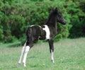 Dartmoor pony Royalty Free Stock Photo