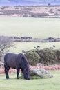 Dartmoor Pony Grazing Royalty Free Stock Photo