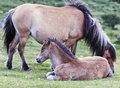 A Dartmoor Pony Mare and Foal, Devon, England Stock Photo