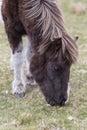 Dartmoor pony portrait of a grazing Stock Photos