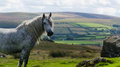 Dartmoor pony wild on in england Royalty Free Stock Images