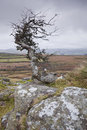 Dartmoor twist an old and twisted tree in Royalty Free Stock Image