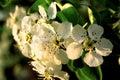 Das Apfelbaumblühen Stockfotos