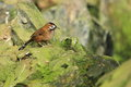 Das moustached laughingthrush auf dem felsen Stockfotos