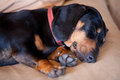 Daschsund dog sleeping Stock Photography