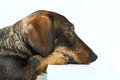Daschund looking away Stock Photography