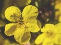 Dasiphora Fruticosa Shrubby Ci...