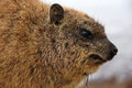 Dassie brown furry creature from south africa taken by the cape of good hope photo shows face eyes ears nose front of body Royalty Free Stock Photo