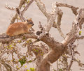 Dassie in dry tree Stock Photo